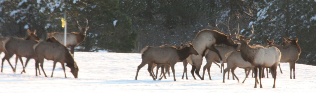 Elk herd near Larkspur