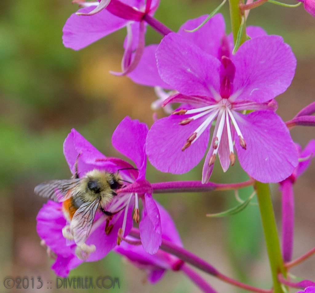 Grand Lake flowers and bee