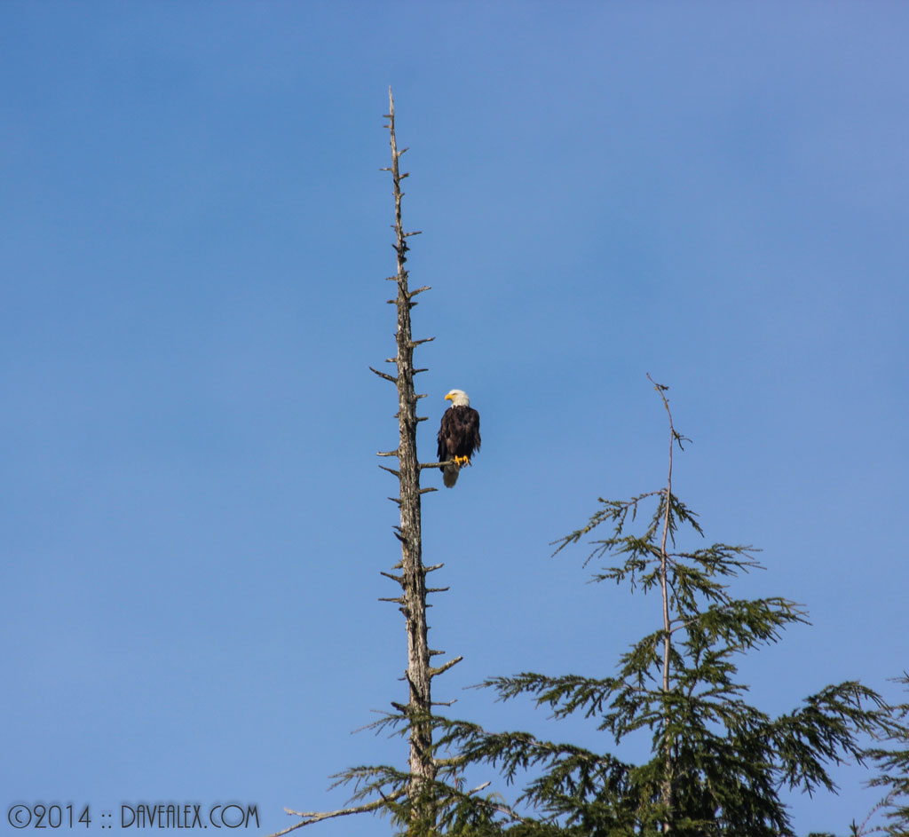 This eagle was perched above the main dock in Bamfield.