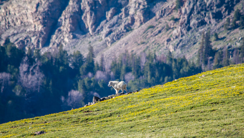 Beartooth Pass Goat