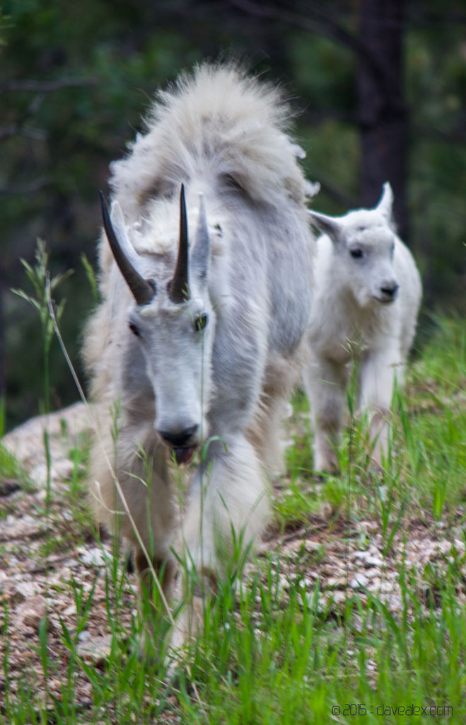 Rushmore Mountain Goats