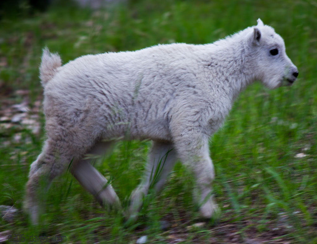 Rushmore baby mountain goat