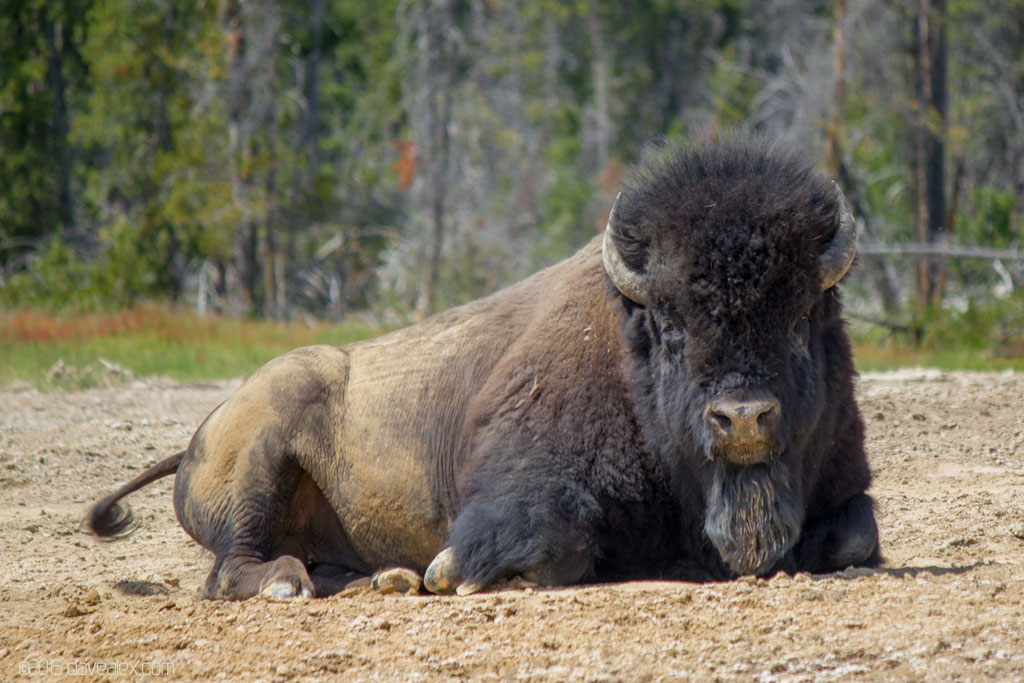 tn_YellowstoneBuffalo-2015-9679