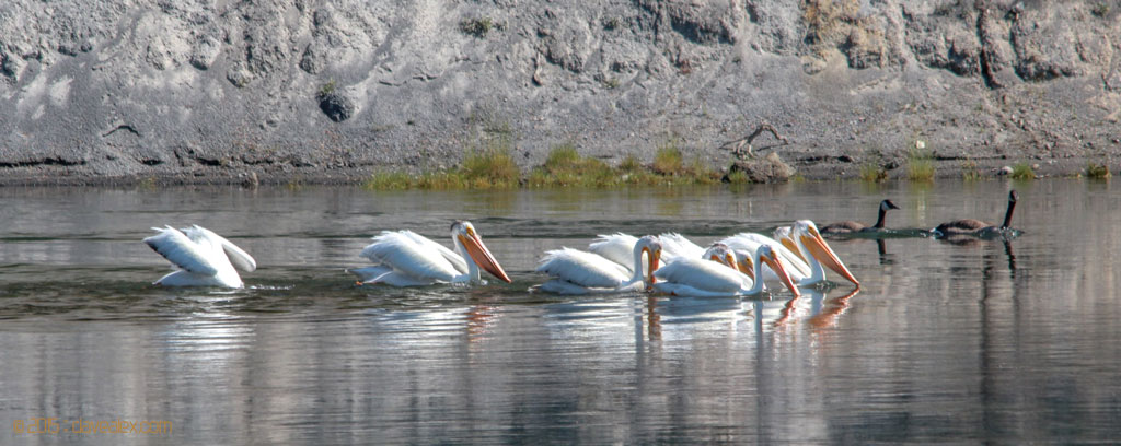 Pelicans and ducks on Yellowstone River