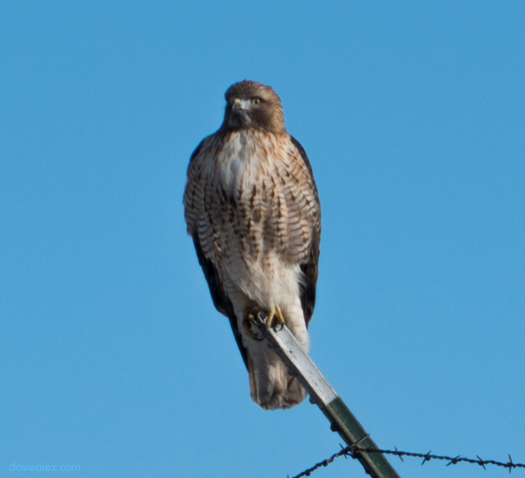 About 30 meters away from the hawk, zoomed at 240mm, and the digitally cropped