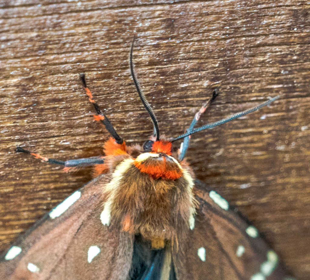 St. Lawrence Tiger Moth (Platarctia parthenos)