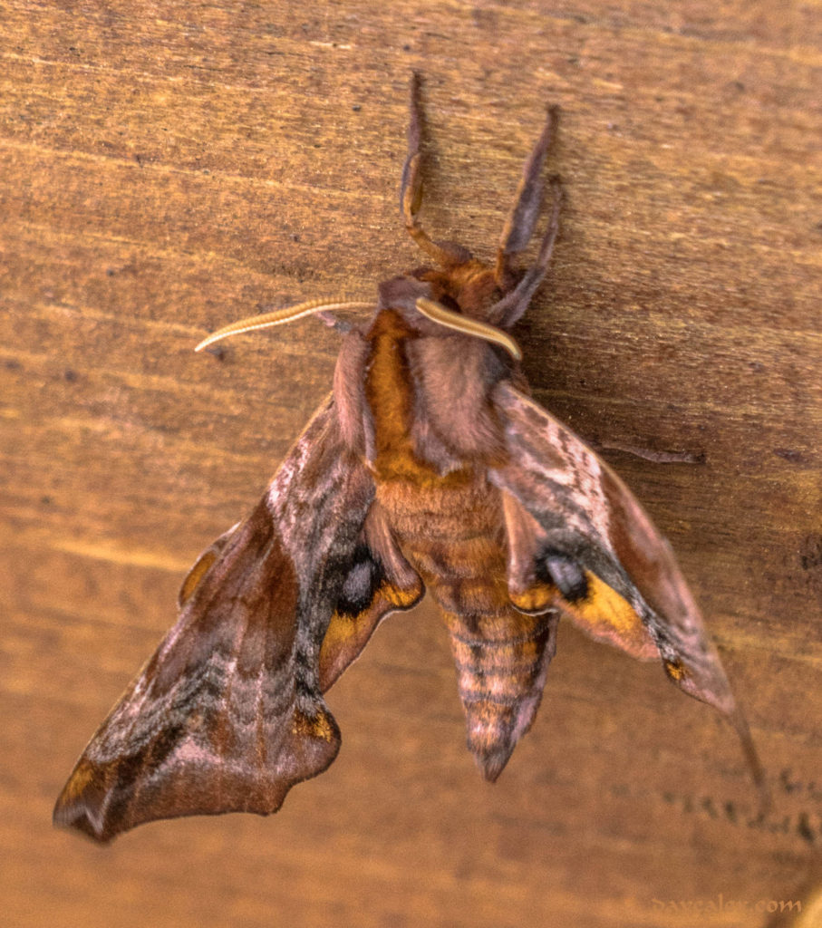 Small-eyed Sphinx Moth (Paonias myops)