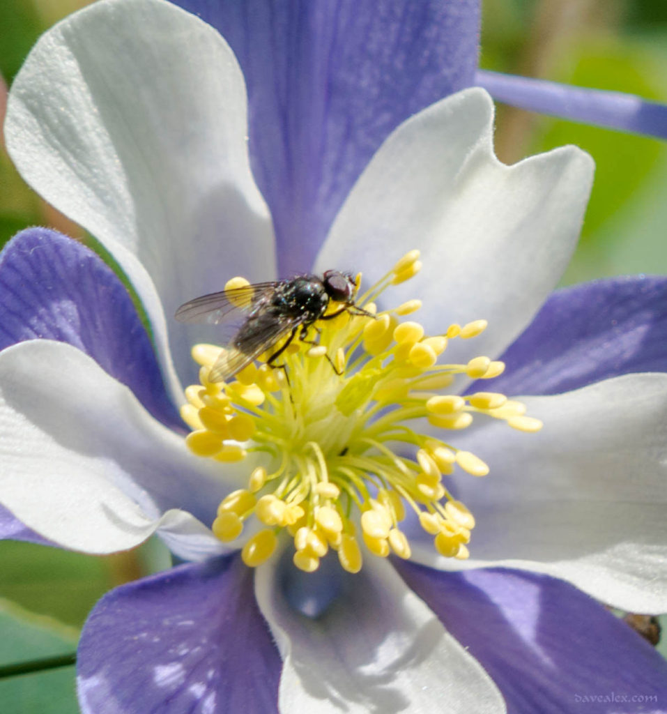 Fly on Columbine