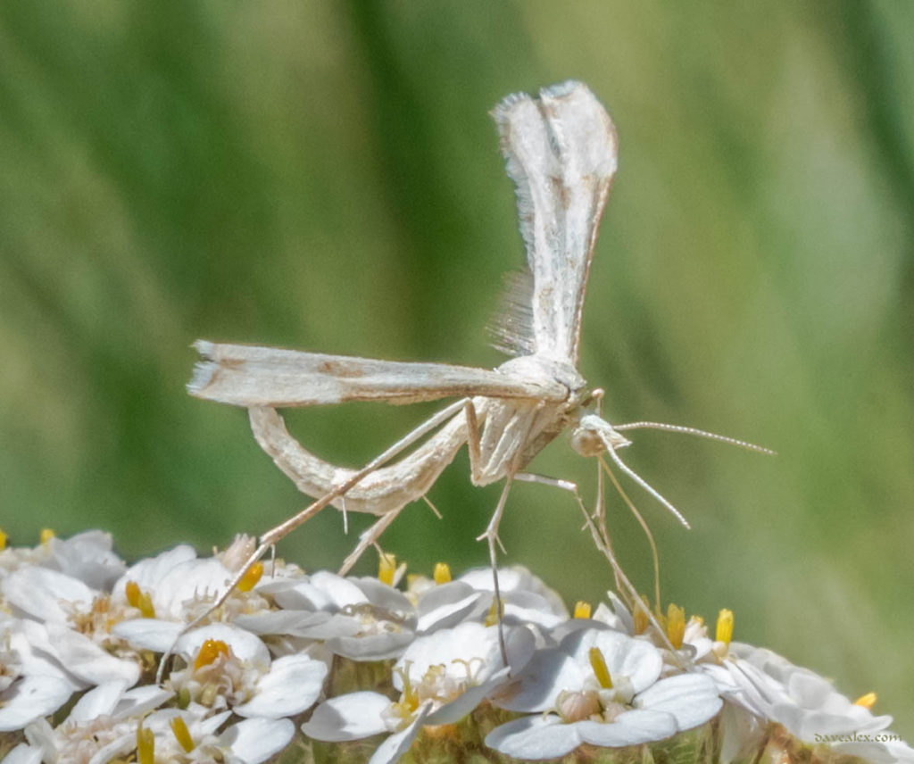 Morning Glory Plume moth (Emmelina monodactyla)